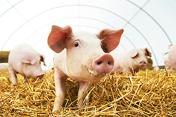 USDA Provides Information for Producers and Veterinarians to Help Guard Against African Swine Fever Through Sound Biosecurity and Disease Reporting