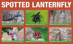 CALIFORNIA ESTABLISHES QUARANTINE TO PROHIBIT THE INTRODUCTION OF THE SPOTTED LANTERNFLY INTO CALIFORNIA
